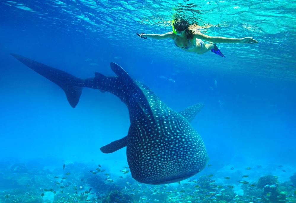 Requins baleines.jpg